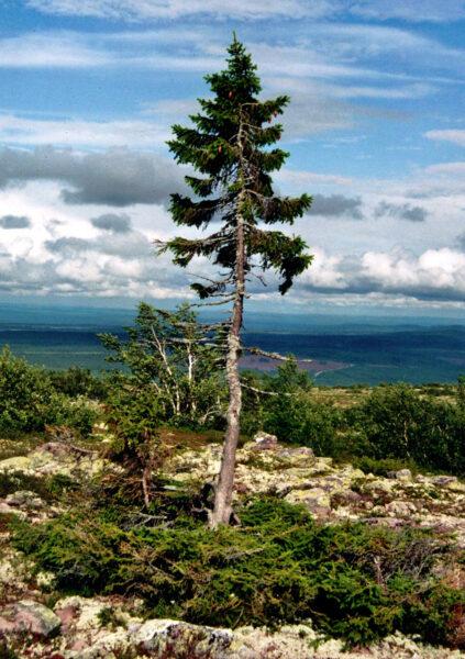 Old Tjikko ist der älteste Baum dieser Erde. Foto: Wikipedia