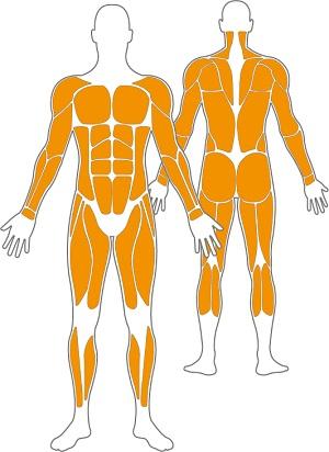 trainierte-muskelgruppen-calisthenics